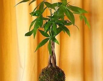 Kokedama Money Tree \\ Pachira Aquatica \\ Bonsai \\ Ficus \\ Hanging String Garden \\ Feng Shui  \\  Prosperity \\ Wealth \\ Luck