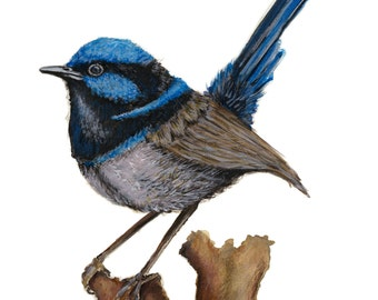 Blue Fairy Wren (Male) Fine Art Print