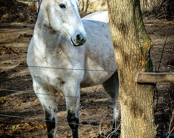 White Stallion - Horse Photography - Wall Art - Horse Portrait - Equine Photography - Ranch - Nature Photography - Vertical Color Print