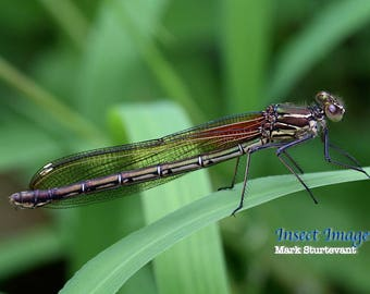 Damselfly, Insect Print, Rubyspot Damselfly, Insect,  Insect Photo,  Digital Download, Fine art, Insect photograph, Red, Green