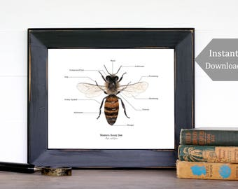 Home School Printable - Educational Art - 8x10 -Bee Anatomy, Montessori, Science, Natural History, Bees, Insects, Nature Study, Entomology