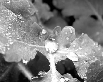 "Nature Photography, Black and White, Dew Drops, Rain Drops, Macro, Foliage, 8x10. ""Morning Dew, B&W""."