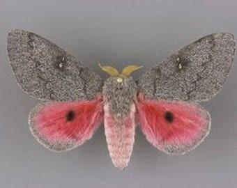 One Real Pink Sphingicampa hubbardi saturn moth saturniidae Arizona