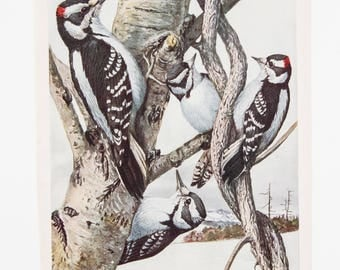 Vintage Print Birds North America Color Book Illustration Woodpeckers - 1950s