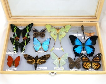 FREE SHIPPING Collector's bargain of butterflies, moths, dragonfly in solid wood display storage