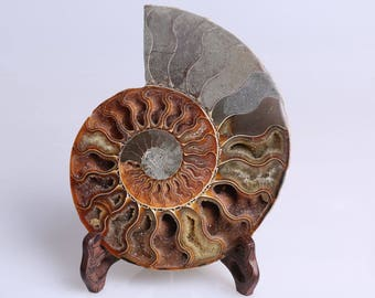 Split Ammonite Fossil Specimen Shell Healing Madagascar,Natural Home Decor+ Free Wenge Stand J511R