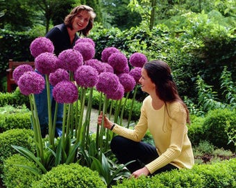 50 Purple Giant Allium Seeds