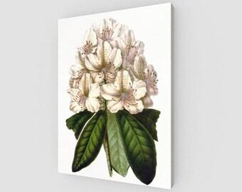 Rhododendron Carneium