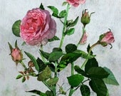 "Hummingbird Rose, Premium Giclee Print 9x11"""