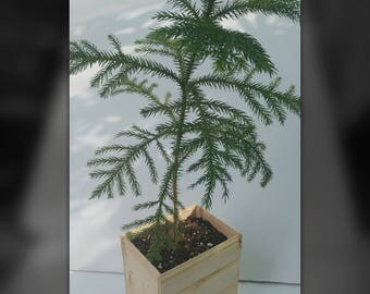 Norfolk pine tree, evergreen, well rooted plant, hand crafted cedar planter