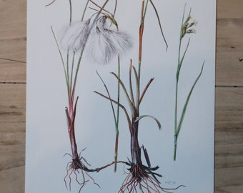 Vintage Plants Educational Board: Narrow Leaf Cottongrass