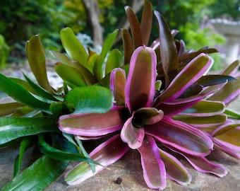 Bromeliad | Cuttings