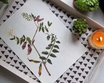 Bush Vetch - floral illustration print