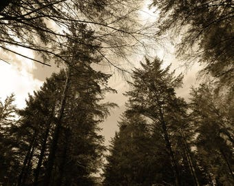 Tall Trees Landscape Photography Print,Brown Photography Print, Rustic picture, Lounnge Decor