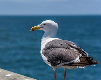 Seagull Photo, San Diego, California Photography