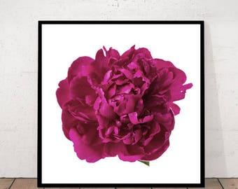 Paenoy, Peony, Peony Print, Paenoy Photography, Flower Print, Flower Isolated, Paenoy Summer, Peony Decor, Paenoy Wall Art