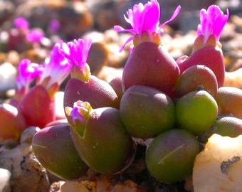 Oophytum nanum RARE South African Succulent 10 Seeds #2005