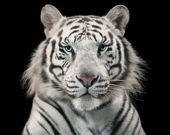 White Tiger, Tiger, White Tiger Poster, White Tiger Print, White Tiger Gift, Tigers Eye, Africa, 8x10, 11x14, 16x20 (JS1824)