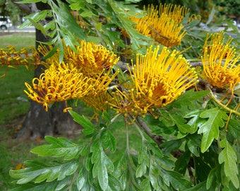 100  Grevillea robusta  Seeds, Silver oak, seeds  Silk oak Seeds
