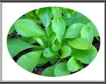 """800 Mg Mâche Corn Salad Seed """"Baron"""" ~ Sweet European Salad Greens ~ 400 Seeds"""
