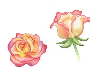 Hybrid Tea Rose Illustration