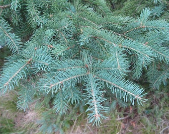 TreesAgain Potted White Spruce Tree - Picea glauca - 16 to 22+ inches