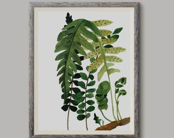 Paproć 3, Fern 3,(Polypodium vulgare) - illustration - print