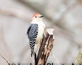 Bird photography, Red-Bellied Woodpecker, nature art, wildlife photography, art print, metal print, bird, red, canvas, canvas wrap
