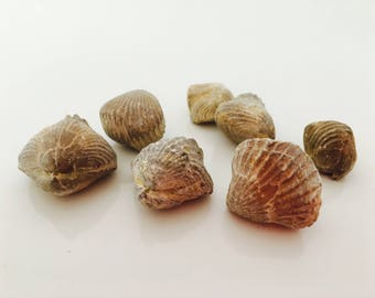 Shell - fossil - fossil - fossilized shell