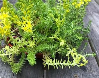 Sedum grass - Stonecrop - Succulent creeping plant