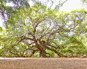 The Grand Angel Oak on Johns Island - Charleston, South Carolina (multiple sizes) PRINT