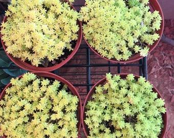 Succulent-Tokyo Sun Sedum