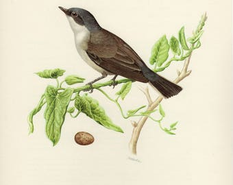 Vintage lithograph of the lesser whitethroat from 1953
