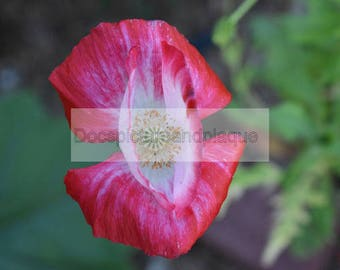 8x10 Red Poppy Flower Photograph Picture Photo