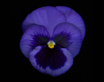 Viola tricolor, Pansy, large format photography, floral art, art, nature, Botany, home decor, fine art prints, fine art prints.