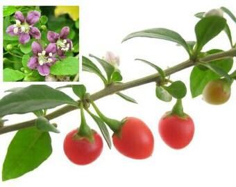 Goji Berry 100/250/500/1,000/2,000 Seeds ~Lycium barbarum~ Fruitful Vine ~ Wolfberry, Chinese Matrimony Plant ~ Bulk bayas pro secca jagody