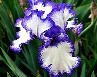 Loop De Loop, Tall Bearded Iris