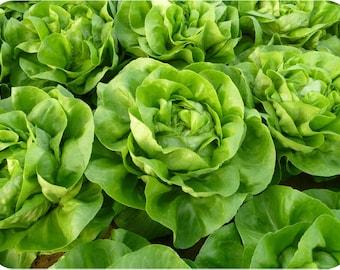 Nansen Lettuce - 200 seeds - Lactuca sativa - Organic, non-GMO