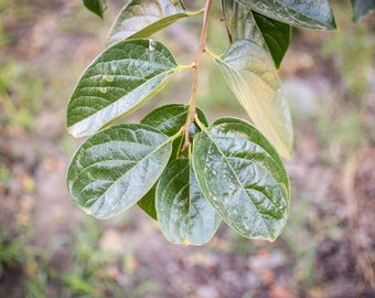 Fresh Hachiya Persimmon Leaves, Use for tea, organic, not dried, handpick leaf