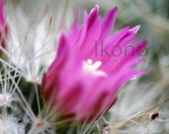 Fine art Macro Nature photo - pink cactus flower
