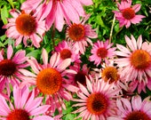 Gerbera Blank Greetings C...