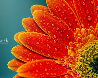 Poster of a kind flower gerbera orange red with water drops on blue background 30 x 45 cm