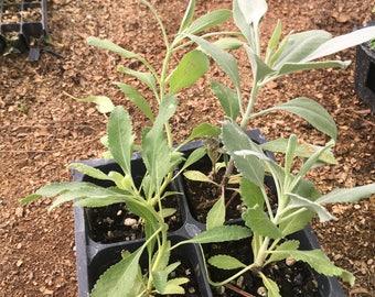 ONE LEFT! - White Sage Plants - salvia apiana - 4pak