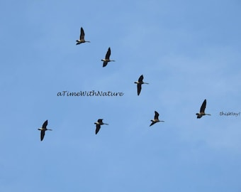 thisWay! Canada Geese in Formation - Digital Image
