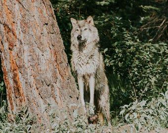 Wolf III Photographic Print, wildlife, animal, wild