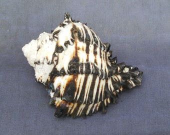 Black Murex Sea Shell