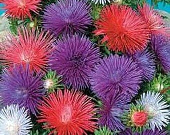 Aster Seeds - Needle Mix 150 seeds from Moldova