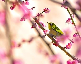 Japanese white-eye during plum blossom