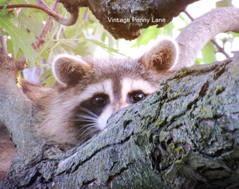 Nature Photography Raccoon, Instant Download