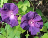 Gorgeous Japanese Morning Glory Black Marbined  seeds